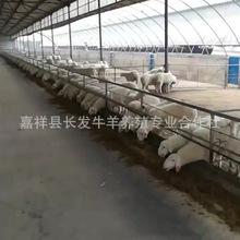 河南小尾寒羊市场价格 断奶小尾寒羊羊苗价格 黑头杜泊绵羊图片