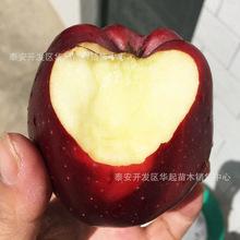苹果苗 苹果新品种 红富士 红肉苹果 鸡心果 南方种植 苹果树苗