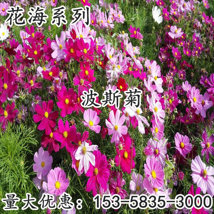 批发草花波斯菊花种 格桑花 四季盆栽花卉野花组合籽花期长易种植