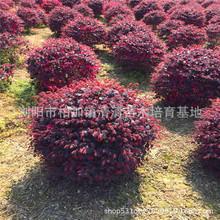 湖南基地供应红花继木球  冠幅80-150cm 红继木小苗批发 规格齐全