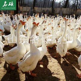 鹅苗批发供应,本公司是大型的孵化基地、养殖基地、种苗基地