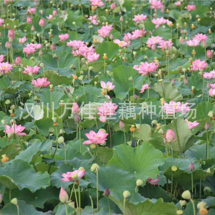 莲子【满天星】适合浅水栽植,生长势强,花大,粉红色,莲子粒大