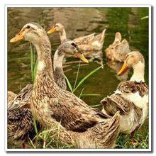 特价三天】现杀现发老鸭子沂蒙山村3年散养老鸭土鸭麻鸭走地鸭