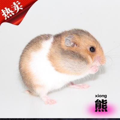 诺比诺宠物熊仓鼠宝宝活体金丝/虎纹/眼圈/米熊熊仔批发