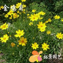 批发大花金鸡菊种子 多年生草花种子 庭院花海宿根草本花卉花籽