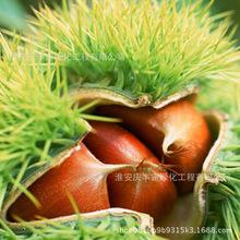 直销板栗树苗  地栽果树嫁接大红袍 南方北方种植  当年结果