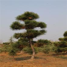 造型景松樹現挖現賣根系發達景松樹可南北方種植量大優惠景松樹