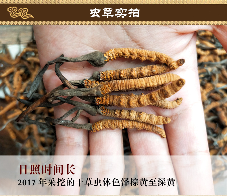 Cordyceps sinensis details page.-1_04