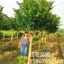 批发湖南本地紫薇 百日红胸径3至15cm速生苗庭院绿化紫薇乔木