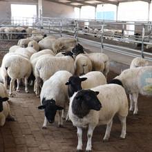 养殖场出售纯种杜泊绵羊屠宰肉羊市场价格小尾寒羊价格