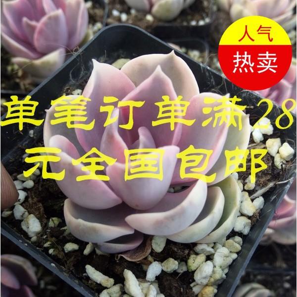 玫瑰1元购薄叶蓝鸟超多碧玉莲精灵豆多肉组合盆栽当季美