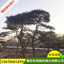 景松樹基地直銷根系好樹姿優美景松樹可供南北方種植優質景松樹