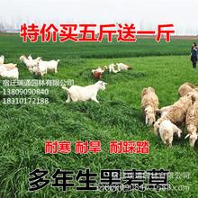 牧草種子冬牧70黑麥草種子多年生苜蓿種子闊葉養牛羊雞鴨魚兔草籽