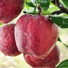 甘肃花牛苹果五斤装9-12个/净重8.5斤18-24个