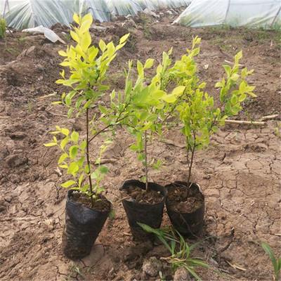 东北开原苗圃金叶榆接穗.金叶榆容器苗  金叶榆绿篱 金叶榆1.8米