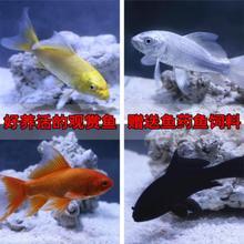 紅色錦成魚觀賞魚淡雅招財四季魚苗鯉魚活魚錦鯉淡水金