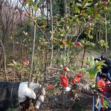 基地批发 日本贴梗海棠树苗 日本木瓜海棠苗庭院盆栽地栽规格齐全