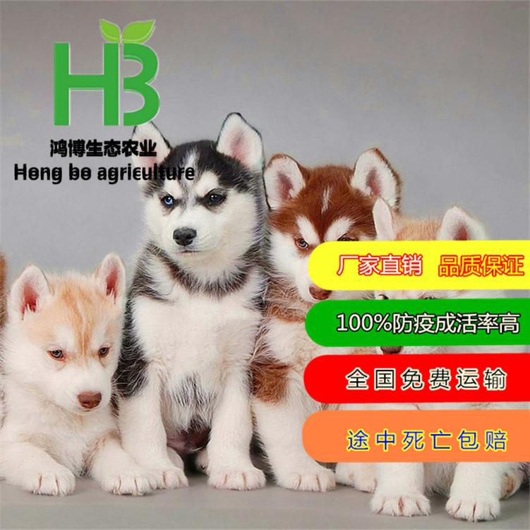 哈士奇犬成年图片哈士奇幼犬宠物狗活体二哈包邮哈士奇幼犬辨别
