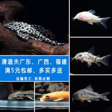包?#26159;?#36947;夫小型鱼工具鱼老鼠鱼活热带鱼活体观赏鱼清洁鱼冷水鱼异