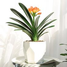 君子兰盆栽花苗室内花卉带花植物办公室桌面净化空气四季圆头和尚