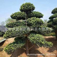 基地直供 羅漢松 造型羅漢松 盆景樹 庭院別墅綠化房地產園林景觀