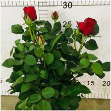 玫瑰盆栽 桌面花卉盆景室内迷你玫瑰花 带花发货颜色全