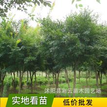 各种规格鸡爪槭树苗批发观叶植物工程苗价格优行道树落叶乔木青枫