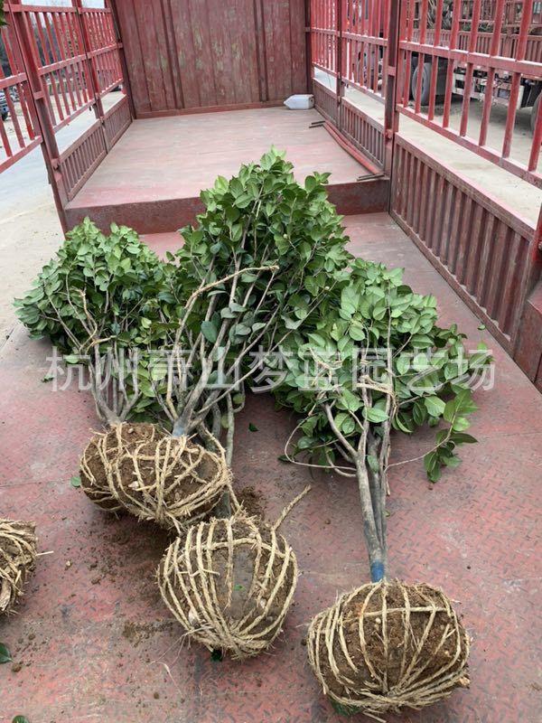 山茶花 茶花苗 1.5山茶花 茶花树 茶花 园林 绿化工程 萧山基地