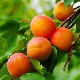 嫁接杏树苗早香甜杏南北方种植地栽盆栽杏树苗 早熟 晚熟全国包邮
