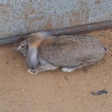 成年公羊兔价格 2019年养殖种兔行情  垂耳兔价格