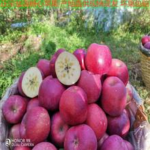 大涼山鹽源糖心紅富士蘋果產地直供 現摘現發一件代發
