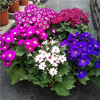 批发瓜叶菊种子 大花瓜叶菊 精品菊花 迷你盆栽 混色装 30粒/包