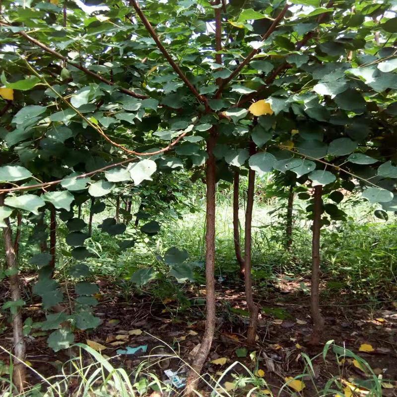 珍珠油杏小树苗嫁接杏树苗原产地品种纯价格低基地直供量大价优