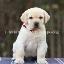 纯种拉布拉多活体出售   宠物犬拉布拉多犬 导盲犬幼犬  包成活