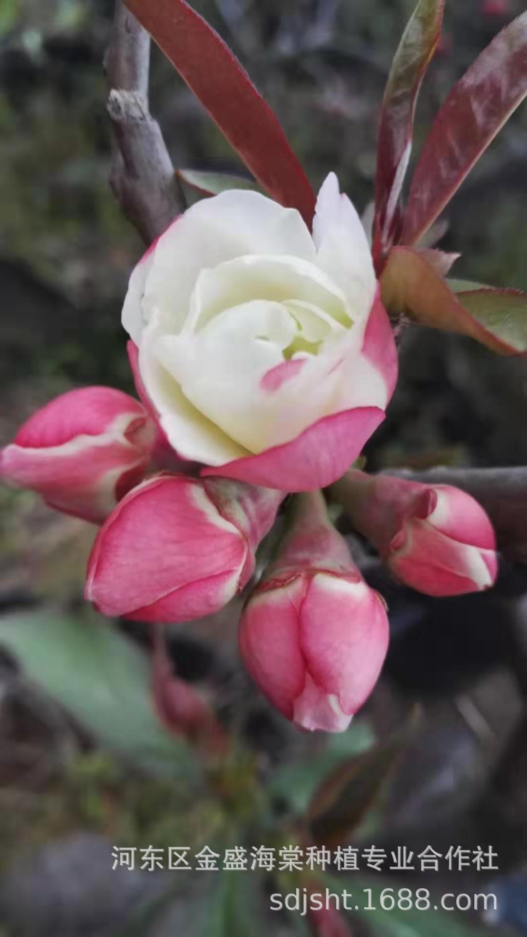供应品种海棠羽衣锦花天女八咫鸟大黑天等日本木瓜海棠品种