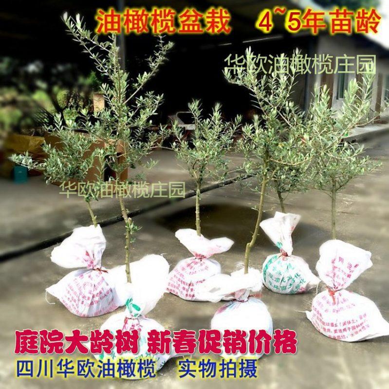 亚游集团ag2355油橄欖樹苗盆栽4-5年大齡樹樁苗木盆栽室內庭院植物綠化包郵
