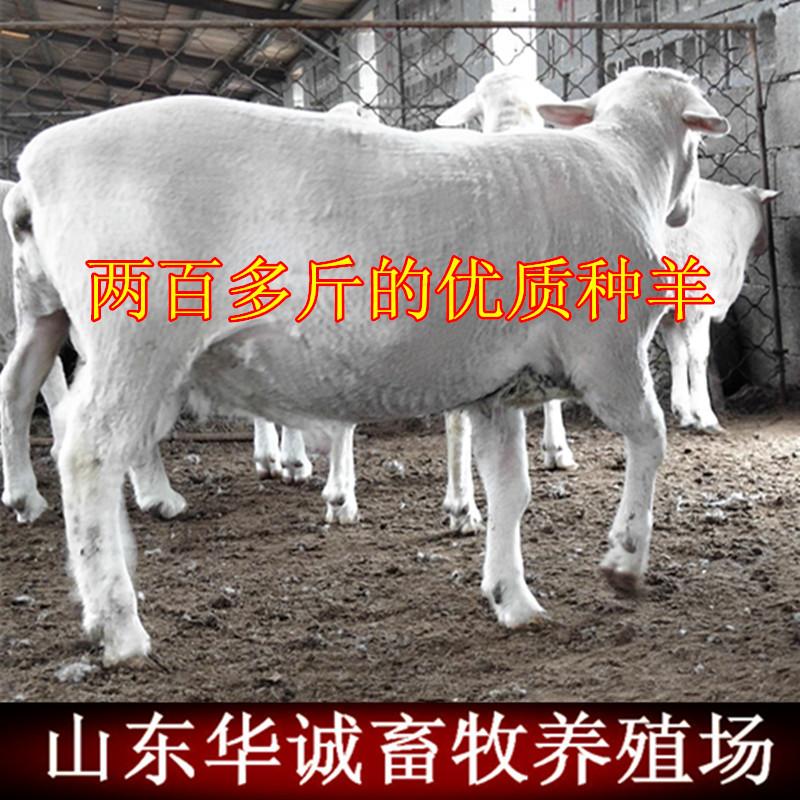 纯种波尔山羊 杜泊绵羊杜寒杂交羊乌骨羊 湖羊活体羊澳洲白羊种羊