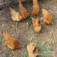 山东烟台鸡苗孵化场 出售柴鸡苗 土鸡苗 笨鸡苗