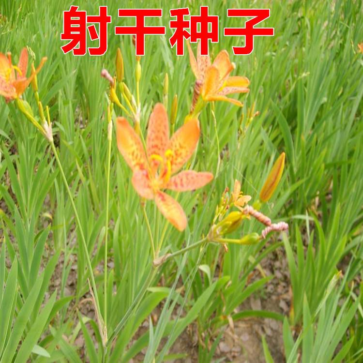 中药材种子板蓝根桔梗党参黄芩柴胡白术黄芪红花射干大黄防风种子