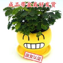 含羞草盆栽辦公室內陽臺害羞植物一碰就趣味綠植含盆種好含羞草苗