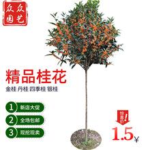 基地批发绿化工程树木桂花征地树 直径2公分金桂丹桂四季桂八月桂