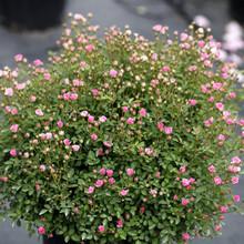 日本多頭迷你型花苗超微多花月季非常容易庭院陽臺不含盆花卉綠植
