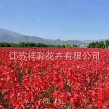 浙江基地 日本红枫树红舞姬 美国红枫十月光辉秋火焰价格大小齐全