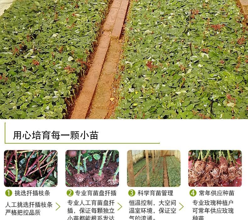 粉色荔枝玫瑰苗_05
