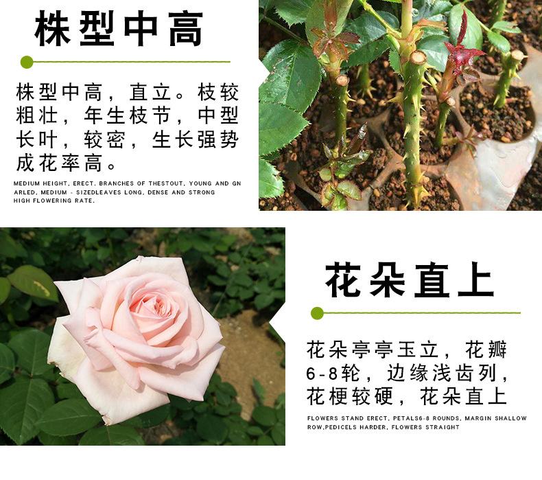 粉色荔枝玫瑰苗_08