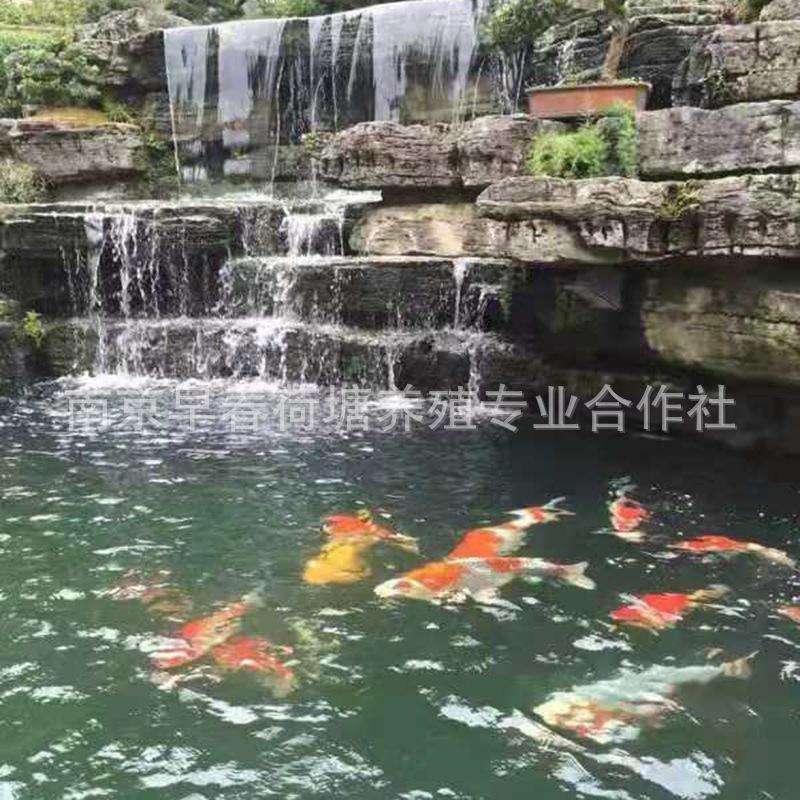 景观鱼池设计建造 鱼池循环过滤系统 包维护水质洁净免维护