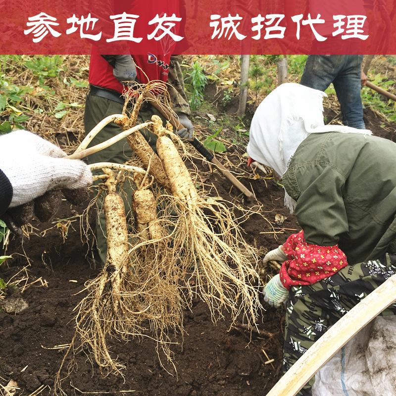 产地直销 长白山新鲜人参 现挖带土鲜人参 农户种植东北特产批发