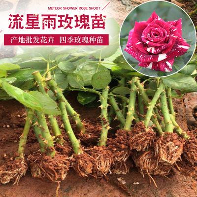自产自销四季常开多花玫瑰苗大花香水月季种苗流星雨小苗量大从优