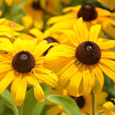 花种子黑心菊种子春播多年生耐寒景观绿化花卉籽