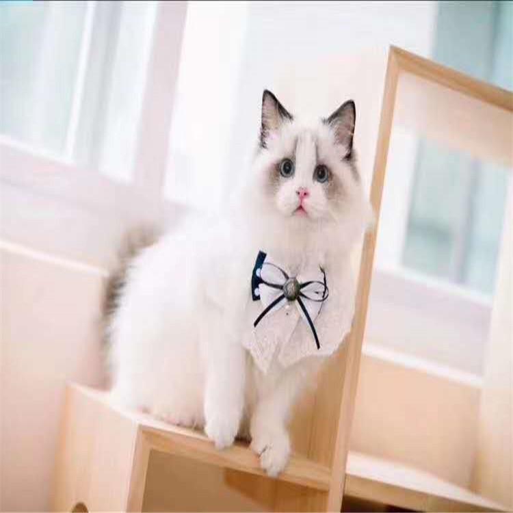 出售布偶猫活体布偶幼猫海双布偶猫重点布偶猫海豹布偶小奶猫家养